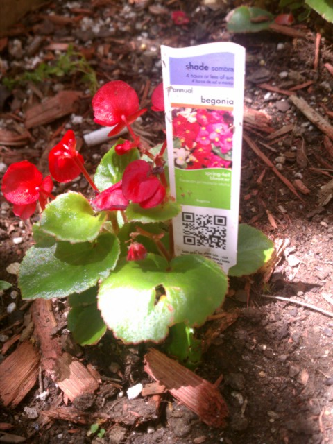 begonia with information card 1