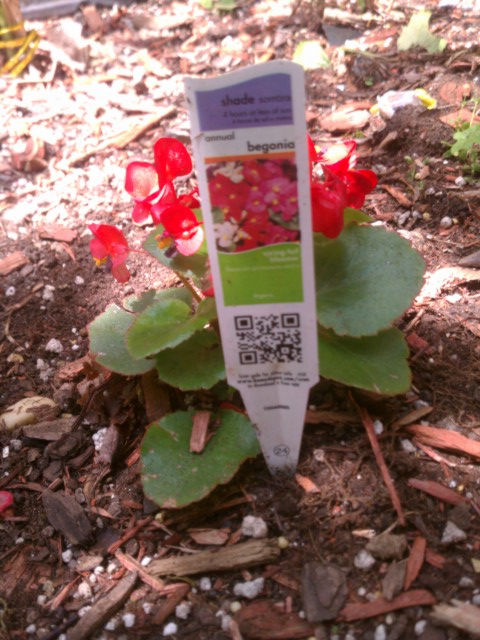 begonia with information card 5